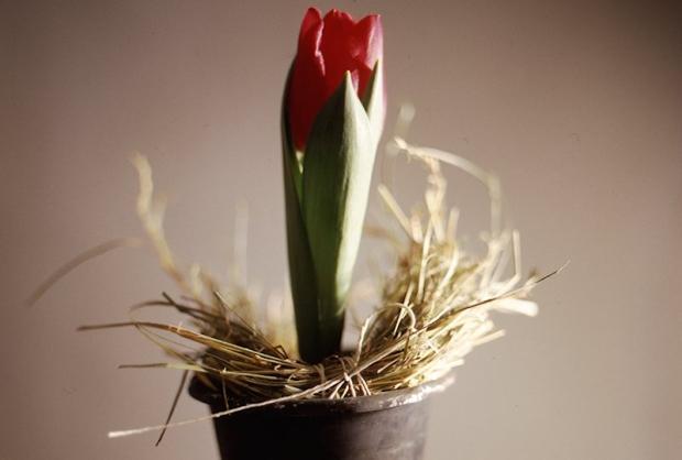 Tulipany mogą zakwitnąć już zimą