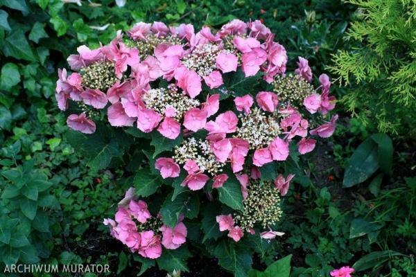 Zmieniamy barwę kwiatów hortensji