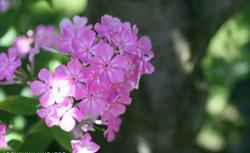Najpiękniejsze kwiaty ogrodowe wieloletnie. GALERIA