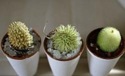 Kaktusy - kłujące piękno