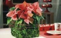 Stroiki świąteczne z pomysłem - stroik z gwiazdą betlejemską [ZRÓB TO SAM]